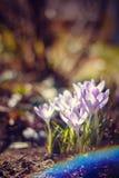 Florescência dos açafrões violetas Fotos de Stock