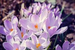 Florescência dos açafrões violetas Fotografia de Stock