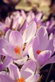 Florescência dos açafrões violetas Imagens de Stock Royalty Free