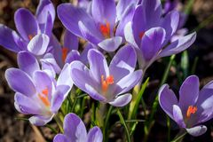 Florescência dos açafrões violetas Foto de Stock Royalty Free