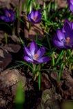 Florescência dos açafrões violetas Imagem de Stock Royalty Free
