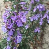 Florescência dos alecrins Fotografia de Stock Royalty Free
