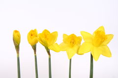 Florescência dos Daffodils fotografia de stock