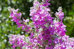 Florescência dos frutescens de Leucophyllum Fotografia de Stock