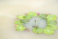 Florescência e botão dos lótus do Nymphaea com teste padrão da folha ao redor na lagoa no fundo fotografia de stock