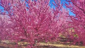 Florescência em cieza 2 imagem de stock