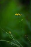 Florescência fina Foto de Stock