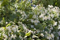 Florescência flores brancas e azuis Foto de Stock Royalty Free