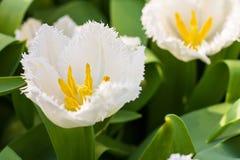 Florescência franjada branca da lua de mel das tulipas Foco seletivo closeup fotos de stock