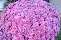 Florescência hrezantemy Imagem de Stock Royalty Free