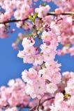Florescência japonesa da árvore de sakura da cereja foto de stock royalty free