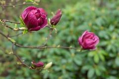 Florescência japonesa roxa das flores da magnólia Fotografia de Stock Royalty Free