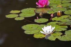 A florescência lírios cor-de-rosa e brancos Fotografia de Stock