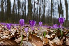 Florescência luxúria de açafrões roxos nas florestas de Transcarpath Imagens de Stock