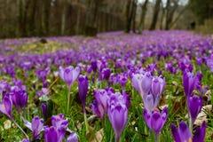 Florescência luxúria de açafrões roxos nas florestas de Transcarpath Fotos de Stock Royalty Free