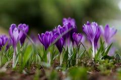 Florescência luxúria de açafrões roxos nas florestas de Transcarpath Fotografia de Stock Royalty Free