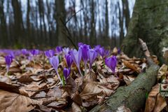 Florescência luxúria de açafrões roxos nas florestas de Transcarpath Imagens de Stock Royalty Free