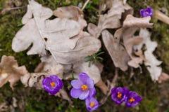 Florescência luxúria de açafrões roxos nas florestas de Transcarpath Fotografia de Stock