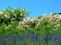 Florescência luxúria de arbustos de rosas Imagem de Stock