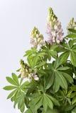 Florescência muita Lupin com folhas Imagens de Stock
