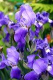 Florescência roxa das íris Foto de Stock Royalty Free