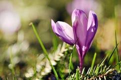 Florescência roxa delicada das flores do açafrão Imagens de Stock Royalty Free
