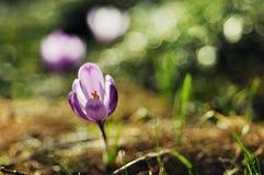 Florescência roxa delicada das flores do açafrão Fotos de Stock Royalty Free