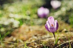 Florescência roxa delicada das flores do açafrão Imagem de Stock Royalty Free