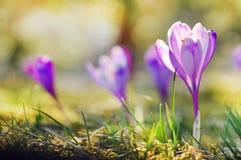 Florescência roxa delicada das flores do açafrão Fotografia de Stock