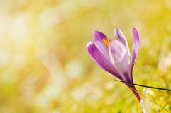 Florescência roxa delicada das flores do açafrão Foto de Stock Royalty Free