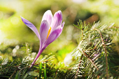 Florescência roxa delicada das flores do açafrão Imagem de Stock
