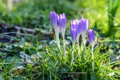 Florescência roxa dos açafrões Fotos de Stock