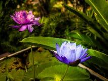 Florescência roxa dos lótus Fotografia de Stock