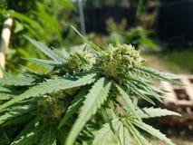 Florescência Sativa do cannabis Imagem de Stock