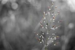 Florescência selvagem da grão Imagem de Stock Royalty Free