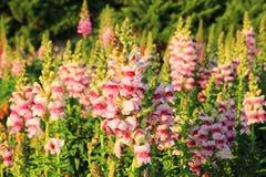 Florescência tipos de flor cor-de-rosa e brancos no prado no por do sol Imagens de Stock Royalty Free