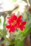 Florescência vermelha bonita das flores Fotos de Stock Royalty Free