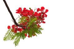 Florescência vermelha bonita das flores isolada no branco Fotos de Stock