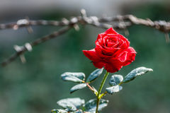 Florescência vermelha de Rosa Imagens de Stock