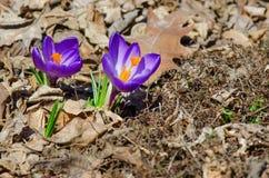 Florescência violeta dos açafrões Fotos de Stock Royalty Free