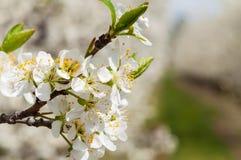 Floresc?ncia branca das flores da ameixa da mola sazonal Flor do pomar da ameixa no Pol?nia foto de stock royalty free
