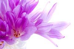Floresce açafrões Foto de Stock