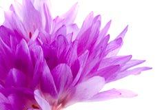 Floresce açafrões Imagem de Stock Royalty Free