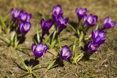 Floresce açafrões no dia ensolarado da mola Imagem de Stock Royalty Free