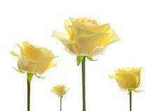Floresce as rosas isoladas fotografia de stock