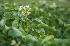 Floresce batatas Imagens de Stock Royalty Free