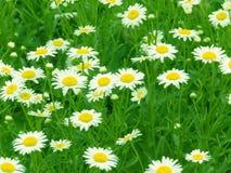 Floresce camomiles Imagens de Stock Royalty Free