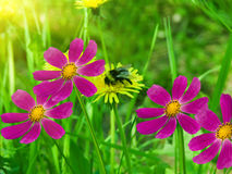 Floresce camomiles Imagem de Stock