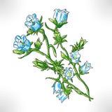 Floresce campanulas Fotos de Stock Royalty Free