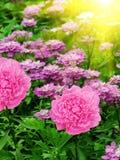 Floresce dálias foto de stock royalty free